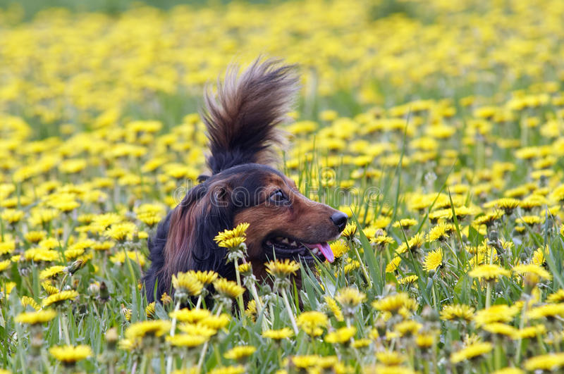 Dachshund on the dandelions meadow royalty free stock images