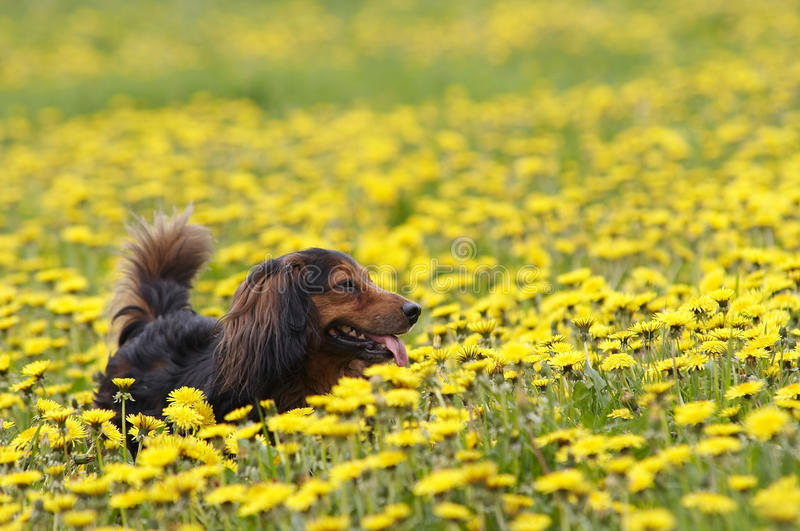 Dachshund on the dandelions meadow stock image