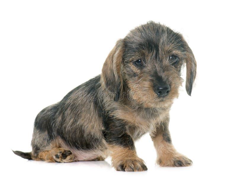 Dachshund de cabelo do fio do filhote de cachorro fotos de stock