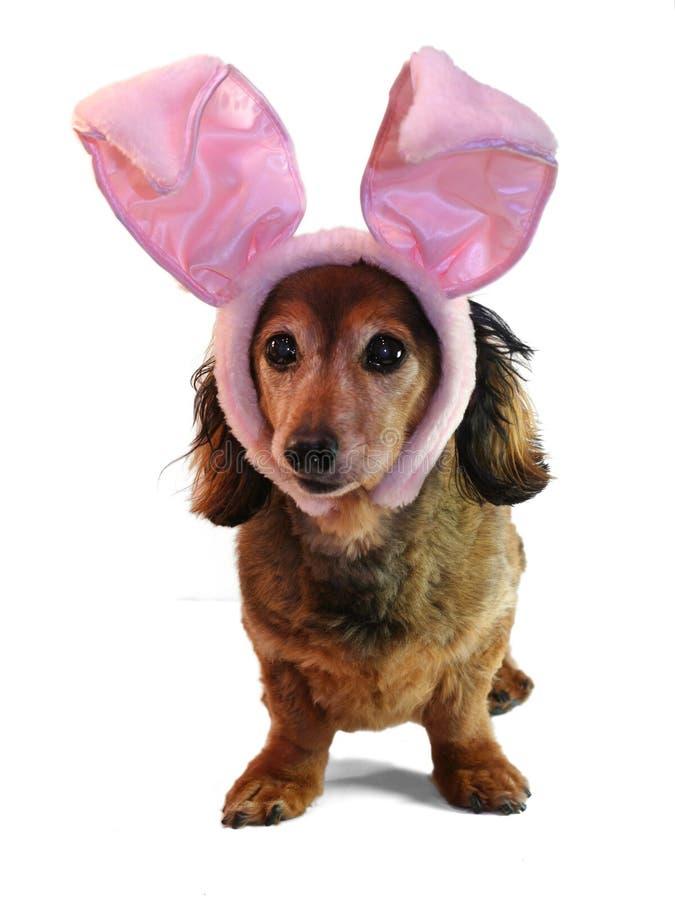 Dachshund del coniglietto di pasqua. fotografia stock