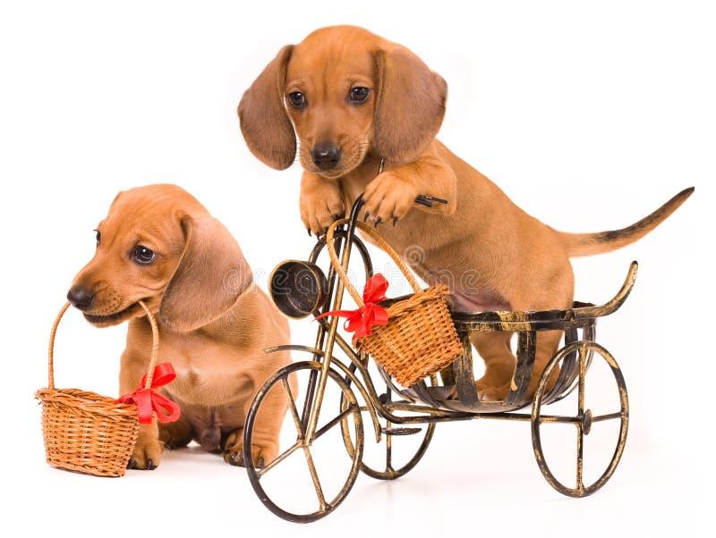 Dachshund del perrito imagen de archivo libre de regalías