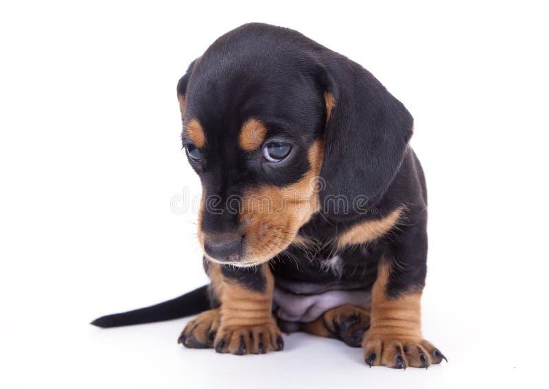 Dachshund di razza del cucciolo immagini stock libere da diritti