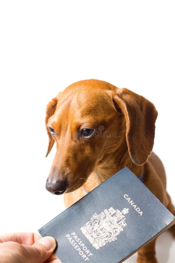 Dachshund diminuto que está sendo entregado o passaporte fotos de stock