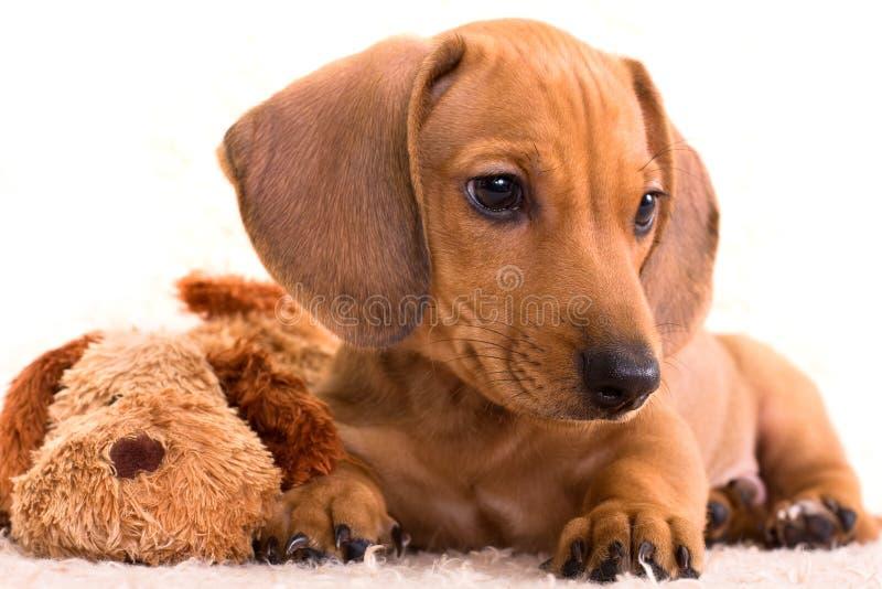 Dachshund do filhote de cachorro fotografia de stock