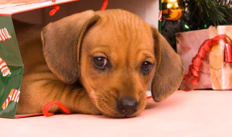 Dachshund do filhote de cachorro imagens de stock