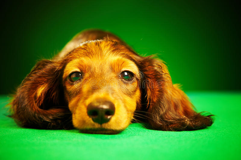 Dachshund do filhote de cachorro fotografia de stock royalty free