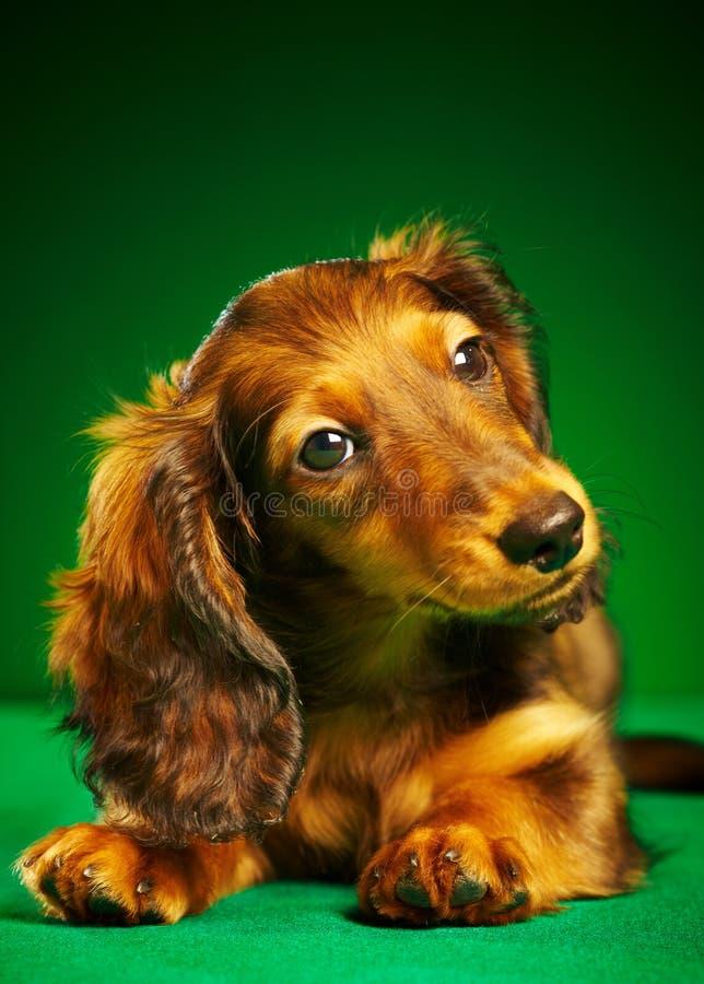 Dachshund do filhote de cachorro imagem de stock royalty free