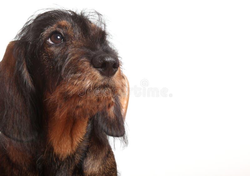Dachshund do filhote de cachorro isolado no branco fotografia de stock royalty free