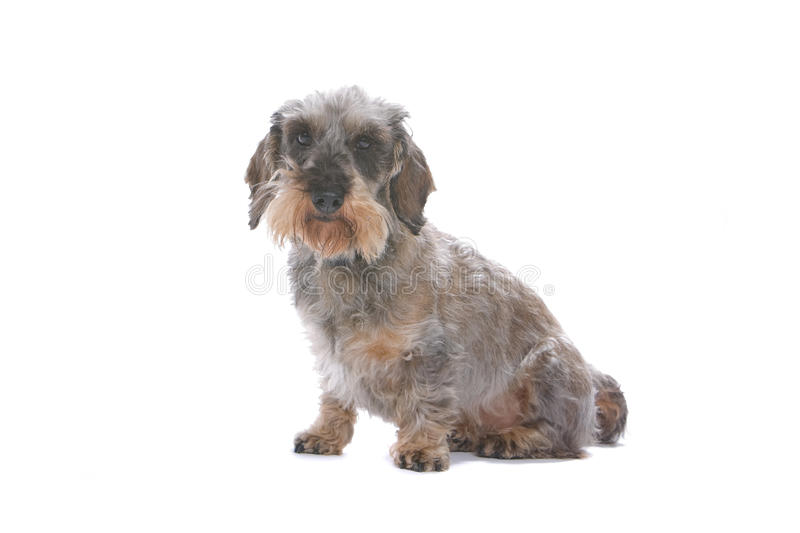 Download Dachshund dog stock image. Image of cute, details, adorable - 11309309