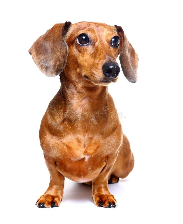 Download Dachshund dog stock image. Image of studio, twist, baby - 23936235