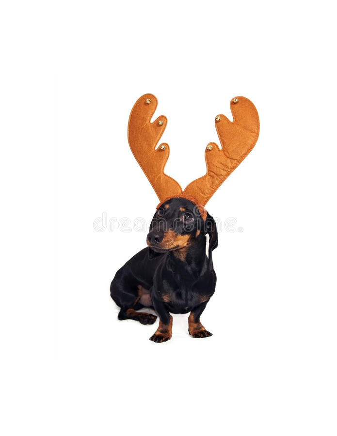 Dachshund Dog with Antler royalty free stock images