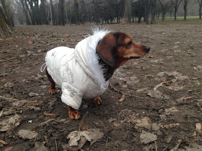 Dachshund dog in coat at the park royalty free stock photos