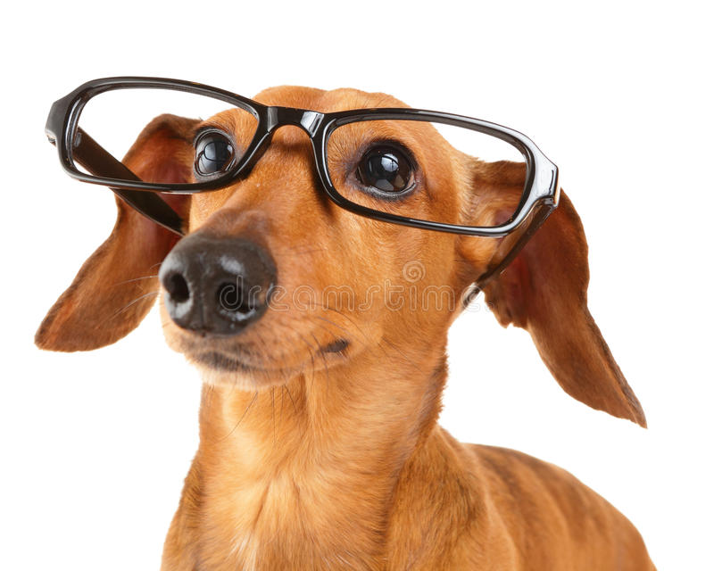 Dachshund Dog With Glasses Close Up Stock Photo Image