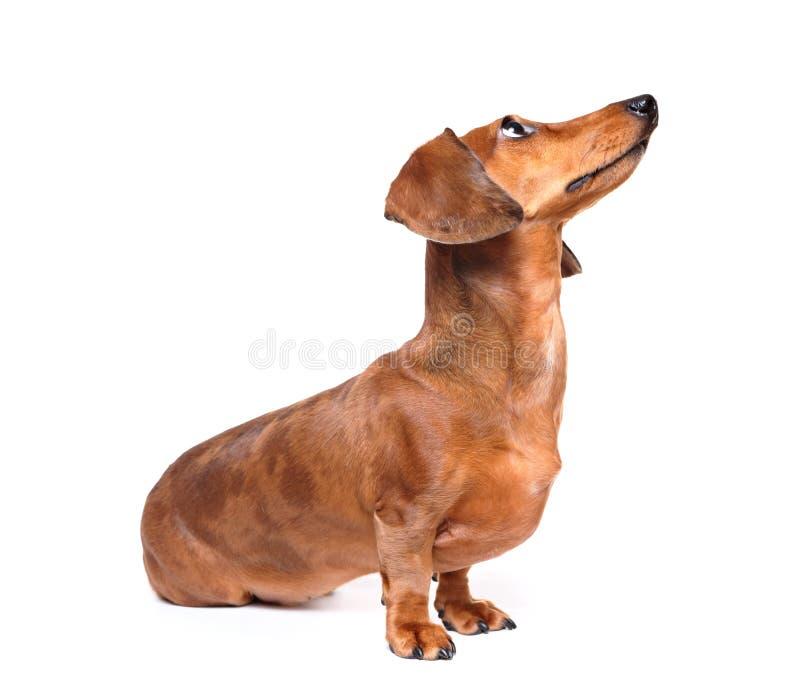 Dachshund dog look up. Over white background stock photos