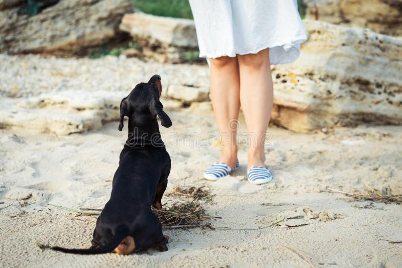 The dachshund dog looks at his master, performing the command sit, waiting for the reward, during training.  royalty free stock photography