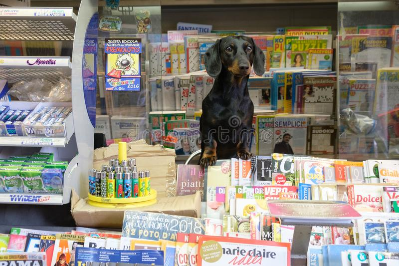 Dachshund dog in a newspaper kiosk stock images