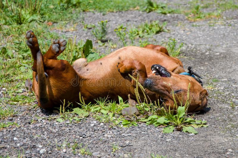 The Dachshund dog plays with itself lying on its back, Pets. The Dachshund dog plays with itself lying on its back, Pets royalty free stock image