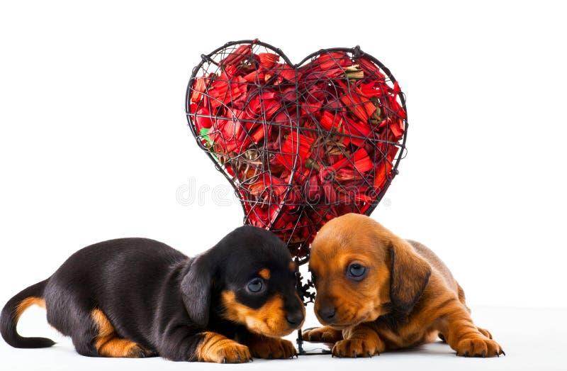 Dachshund Dog puppy Red Heart Studio royalty free stock photo