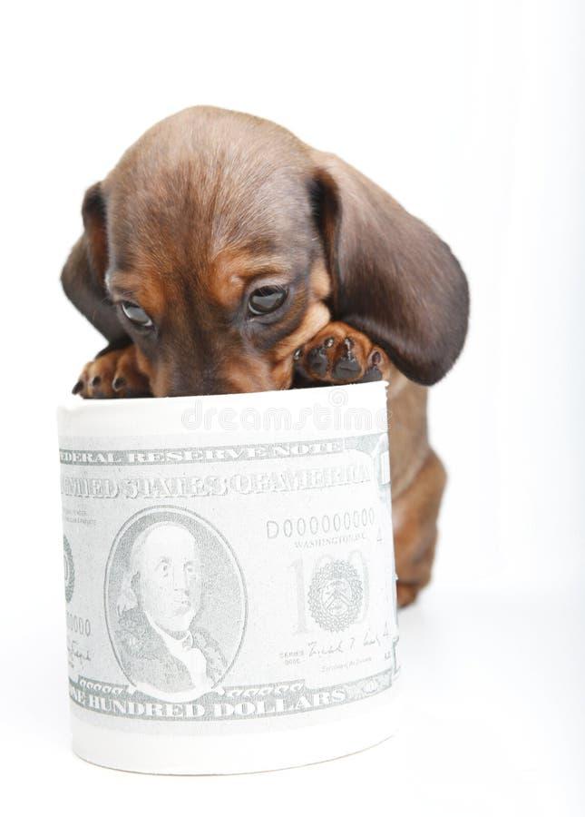 Dachshund dog puppy in studio quality postcard. With dollar money royalty free stock photos