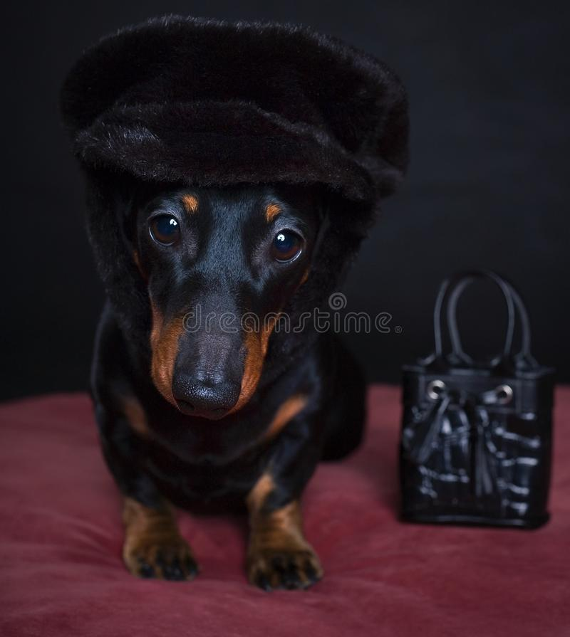 Dachshund dog puppy in studio quality postcard. With hat and woman bag stock photos