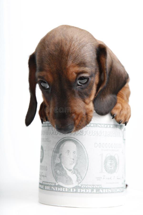 Dachshund dog puppy in studio quality postcard. With dollar money stock photos