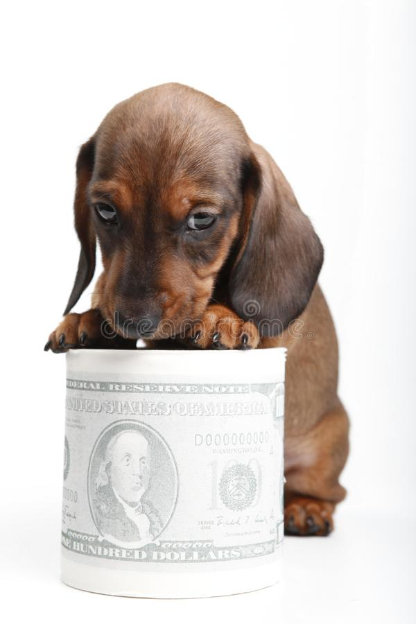 Dachshund dog puppy in studio quality postcard. With dollar money royalty free stock images