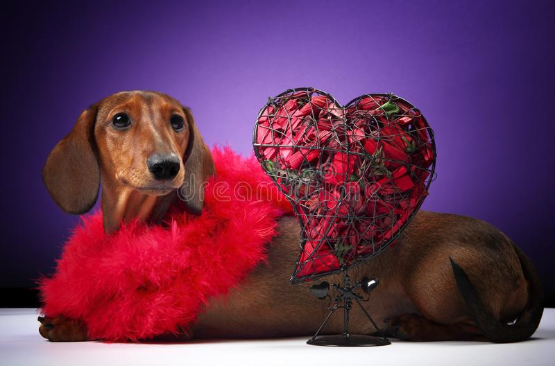 Dachshund dog pupy in studio quality postcard. With heart royalty free stock photos