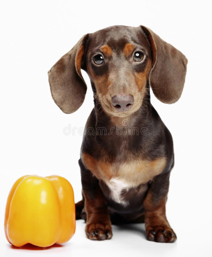 Dachshund dog pupy in studio quality postcard. With pepper royalty free stock photos