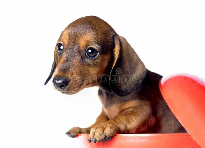 Dachshund dog pupy in studio quality postcard. In red box stock photography