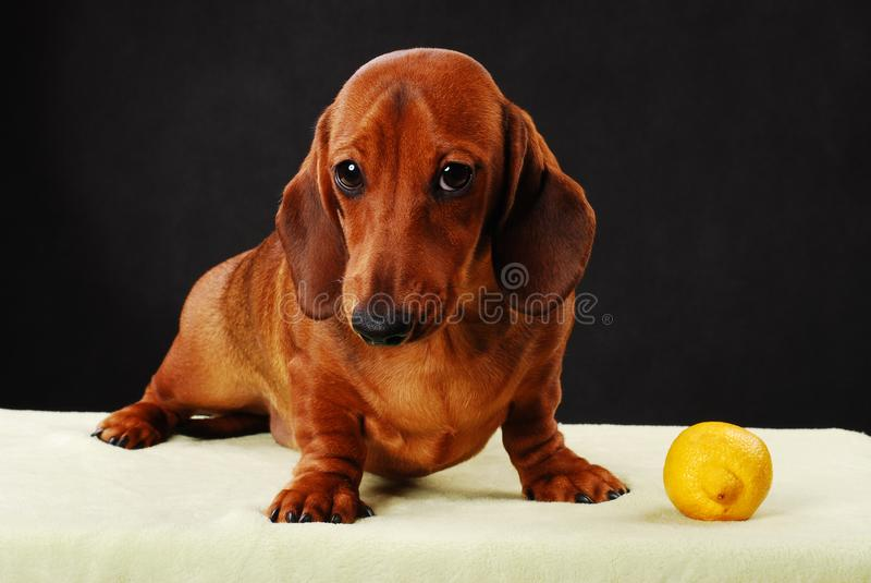Dachshund dog pupy in studio quality postcard. And lemon royalty free stock photography