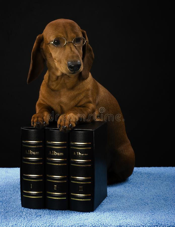 Dachshund dog pupy in studio quality postcard. Read book stock photography