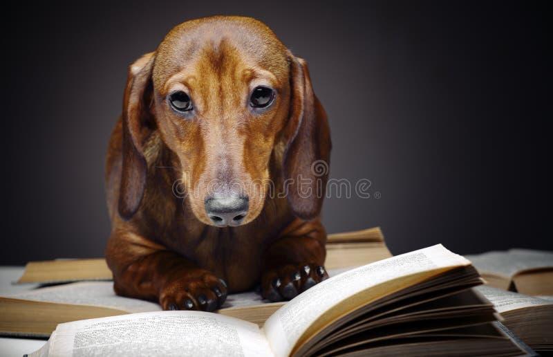Dachshund dog pupy in studio quality postcard. Read book royalty free stock photos