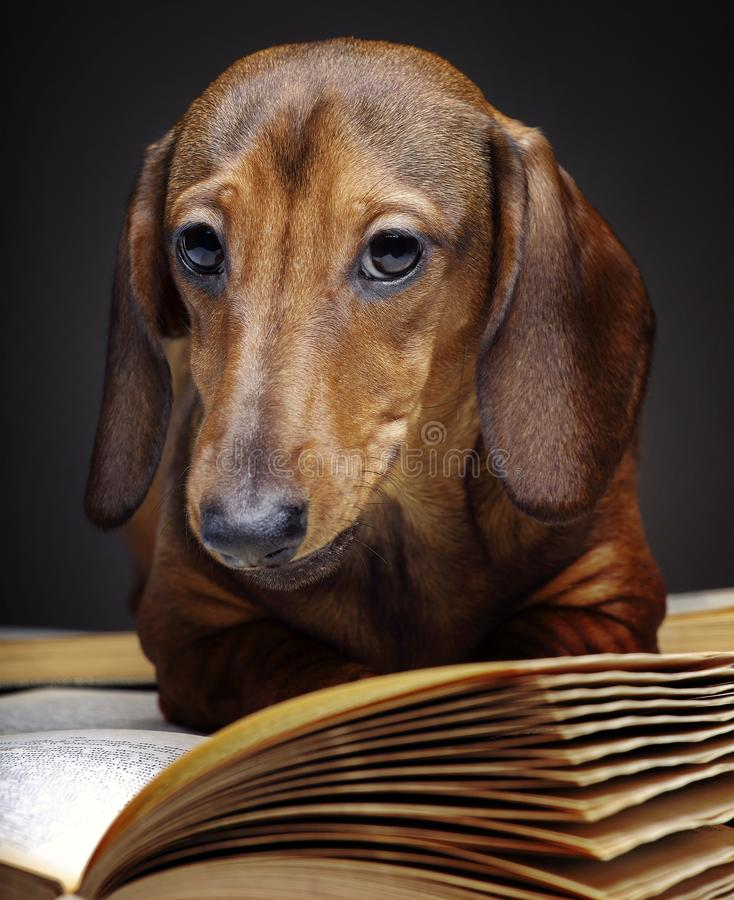 Dachshund dog pupy in studio quality postcard. Read book stock images