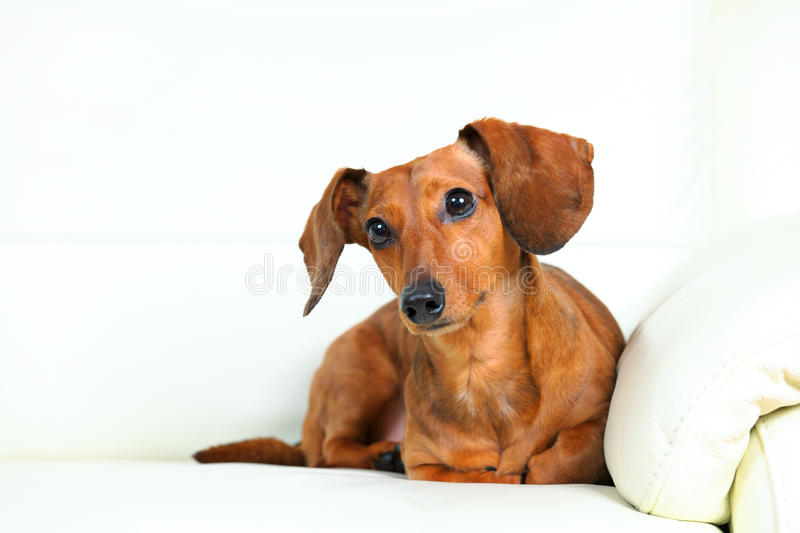 Download Dachshund dog on sofa stock image. Image of laying, requests - 26109651