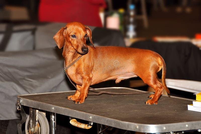 Dachshund dog standing royalty free stock photos
