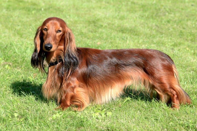 Dachshund dog royalty free stock photo
