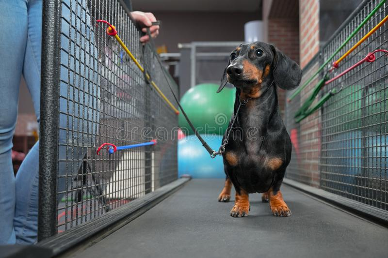 Dachshund dog walking on treadmill to get them of healthy indoor exercise in the fitness club royalty free stock photos