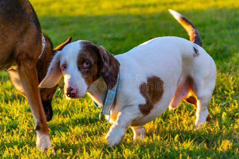 Dachshund double marble. Young energetic dog with handmade collar walks in the meadow. stock images
