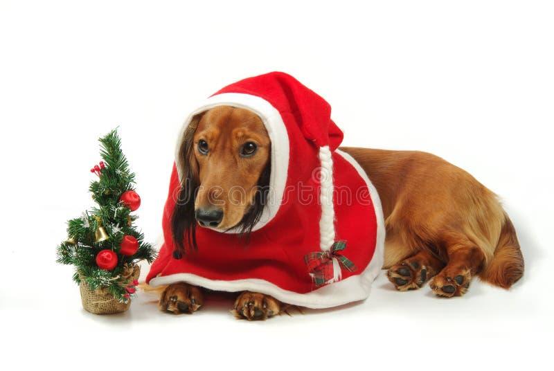 Dachshund e Natal fotos de stock
