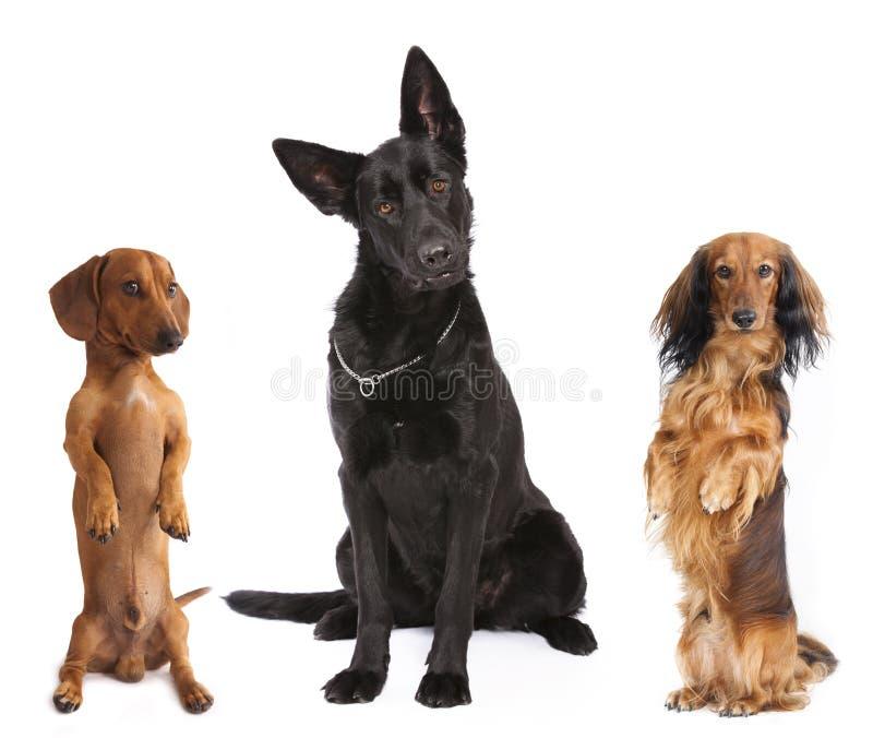 dachshund e pastor fotos de stock royalty free