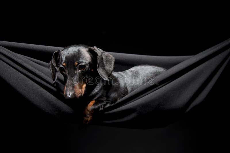 Dachshund em um hammock fotos de stock royalty free