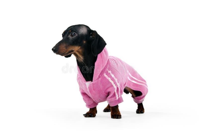 Dachshund em um terno cor-de-rosa fotos de stock