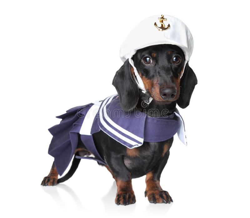 Dachshund in fashionable clothes stock photos