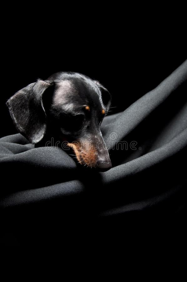 Dachshund  In A Hammock Royalty Free Stock Images