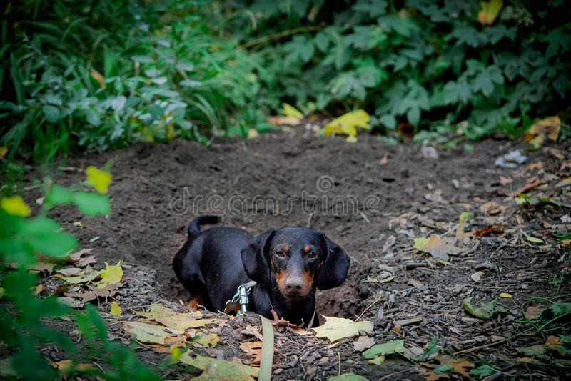 Dachshund - a hunting dog stock photography
