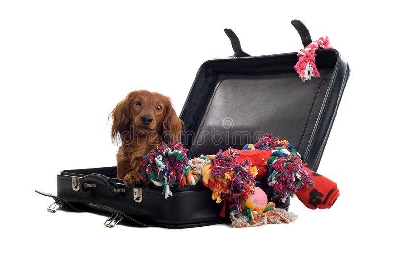 Dachshund im Koffer lizenzfreies stockfoto