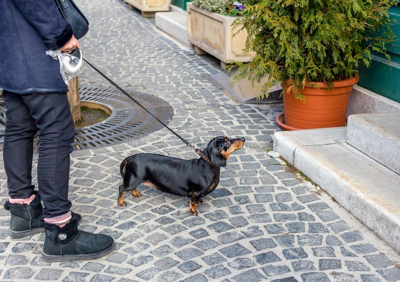 Dachshund on leash in front of building looking and waiting for someone. Owner holds plastic bag for dog droppings. Black dachshund on leash in front of building royalty free stock photos