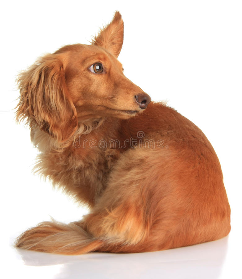 Download Dachshund listening stock photo. Image of animal, doxie - 17342608
