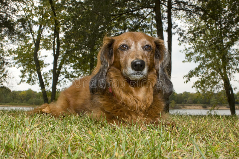 dachshund longhaired стоковое фото