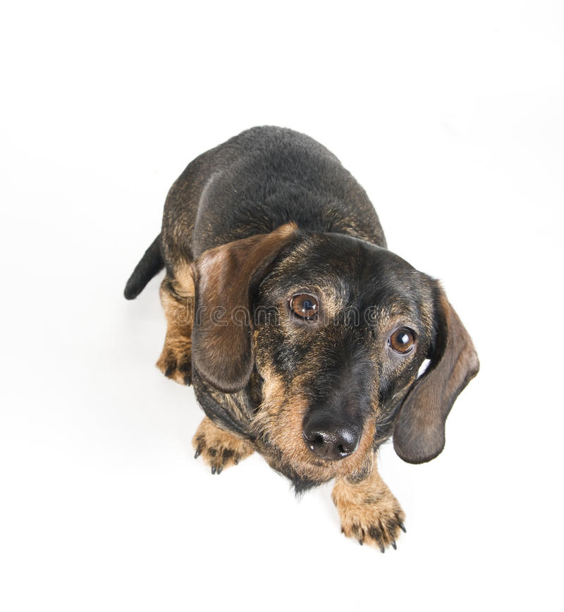 Download Dachshund looking up stock photo. Image of direct, canine - 25927862